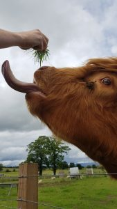 side view of teh head of a highland cow with his tongue out and curling up to a piece of grass.